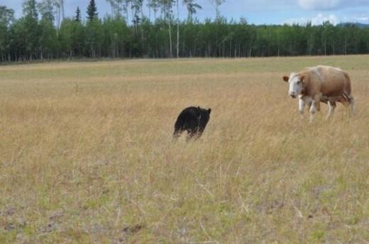 熊 vs 牛