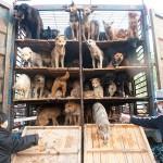 中国、食用として移送されていた犬500匹、救出 (3)