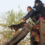中国、食用として移送されていた犬500匹、救出 (1)
