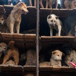 中国、食用として移送されていた犬500匹、救出 (4)