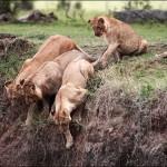 崖から落ちた子ライオンの救出劇 (3)