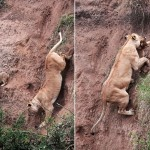 崖から落ちた子ライオンの救出劇 (2)