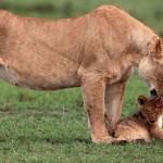 崖から落ちた子ライオンの救出劇 (1)
