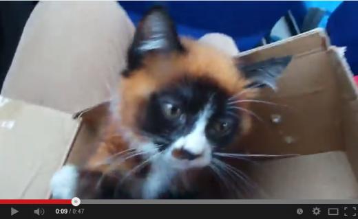 レッサーパンダそっくり猫