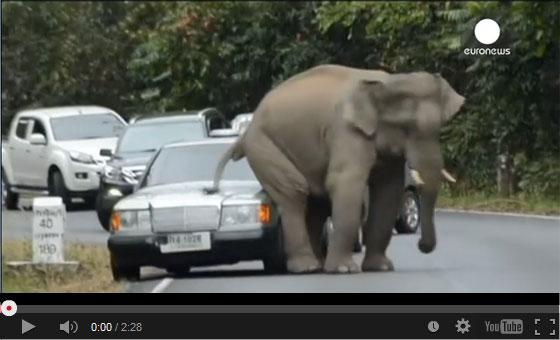 ベンツが象に襲われる