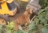 2人の人間を殺したトラがパワーショベルに潰し殺される