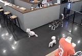 韓国のドッグカフェで小型犬がハスキー犬に襲われる衝撃映像