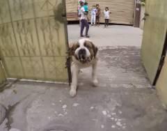 フリーランナーが超大型犬と遭遇、ヤバイ!