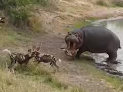 リカオンの群れ vs. 1頭のカバ