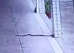 ヘビが学校の教室に侵入