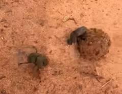 フンコロガシが象の糞を巡ってバトル