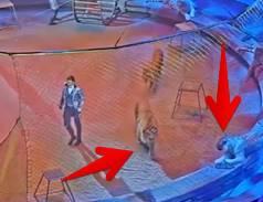 サーカス公演中にトラがライオンを襲撃