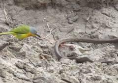 生きているヘビが鳥に内蔵を抜き取られる