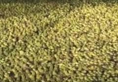 中国のカエルの養殖場が凄い
