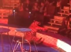 サーカスのトラが意識を失い痙攣