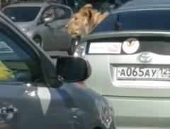 プリウスの後部席にライオンが乗ってる!