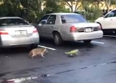 アライグマ vs. イグアナ