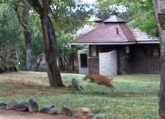 ヒョウがロッジの前でアンテロープを仕留める