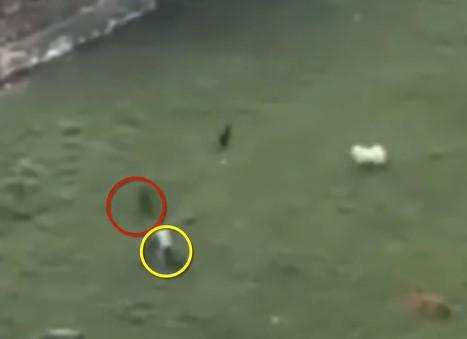 子供がイノシシに襲われるも2頭の犬が撃退