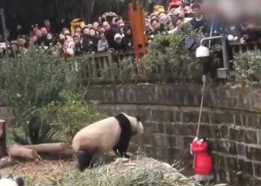 パンダ舎に転落した女の子にパンダが接近!
